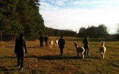 Anmeldung Alpaka-Spaziergang und Weideführung