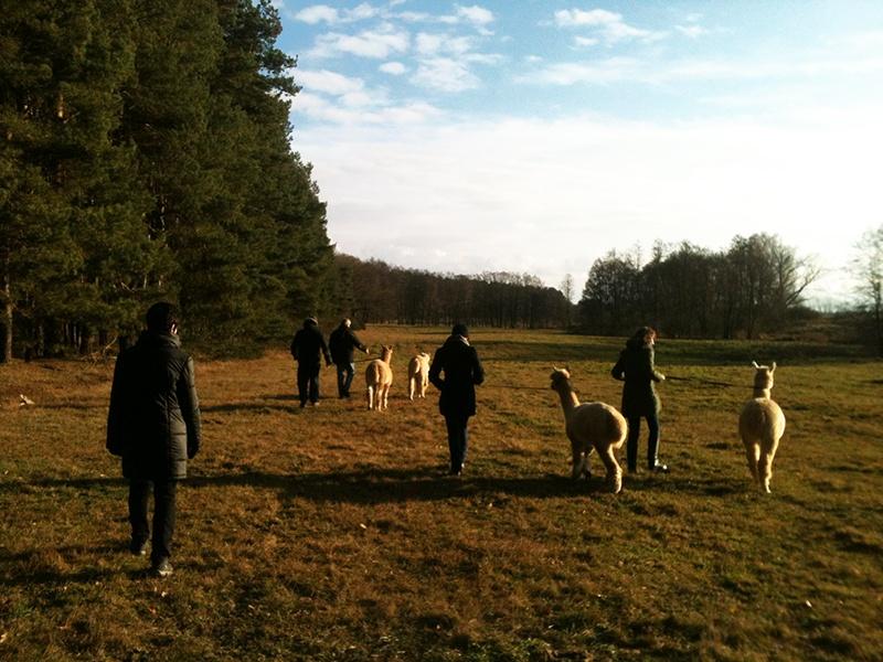 Alpakaspaziergang